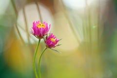 Bello fiore dentellare Immagini Stock Libere da Diritti
