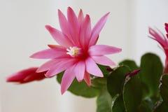 Bello fiore dentellare del cactus Fotografia Stock