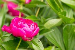 Bello fiore dentellare del peony Fotografie Stock Libere da Diritti