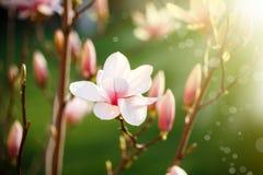 Bello fiore dentellare della magnolia Immagine Stock