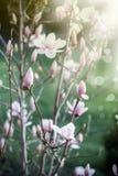 Bello fiore dentellare della magnolia Fotografia Stock