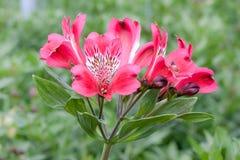 Bello fiore dentellare in una serra Fotografia Stock Libera da Diritti