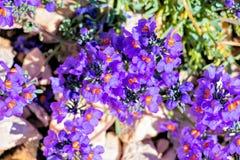 Bello fiore di alpina di Linaria in montagne Fotografia Stock