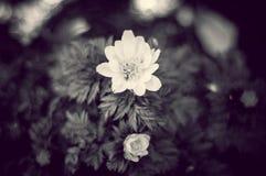 Bello fiore di B&W Immagini Stock Libere da Diritti