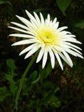 Bello fiore di babandacia delle foto naturali della Sri Lanka Fotografie Stock Libere da Diritti