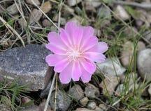 Bello fiore di Bitteroot Fotografia Stock