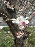 Bello fiore di ciliegia Immagini Stock