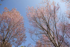 Bello fiore di ciliegia Immagini Stock Libere da Diritti