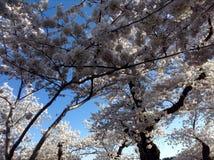 Bello fiore di ciliegia Fotografie Stock Libere da Diritti
