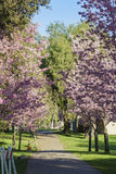 Bello fiore di ciliegia al parco regionale di Schabarum Immagine Stock