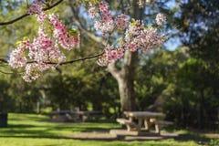 Bello fiore di ciliegia al parco regionale di Schabarum Immagini Stock