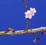 Bello fiore di ciliegia, Chiang Mai, Tailandia Fotografia Stock