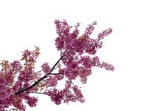 Bello fiore di ciliegia, Chiang Mai, Tailandia fotografie stock libere da diritti
