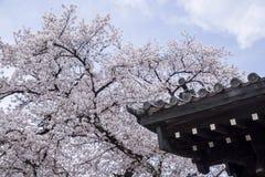 Bello fiore di ciliegia d'annata di Sakura Fotografia Stock Libera da Diritti