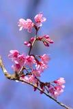 Bello fiore di ciliegia himalayano selvaggio nel Nord della Tailandia Fotografia Stock