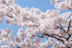 Bello fiore di ciliegia sakura nel Giappone Fotografie Stock