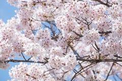 Bello fiore di ciliegia sakura nel Giappone Fotografia Stock