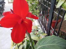 Bello fiore di colore rosso immagine stock