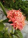 bello fiore di colore rosso della foto naturale dello Sri Lanka Fotografie Stock