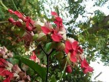 Bello fiore di colore rosso dello sri lankan immagine stock libera da diritti