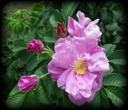 Bello fiore di estate della scelta Fotografia Stock