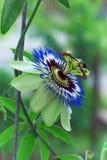 Bello fiore di fioritura della passiflora Fotografia Stock
