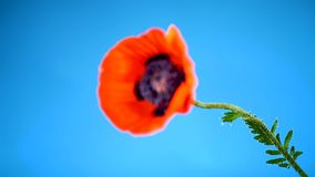Bello fiore di fioritura rosso del papavero isolato sul blu archivi video
