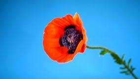 Bello fiore di fioritura rosso del papavero isolato sul blu stock footage