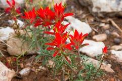 Bello fiore di fioritura rosso nella base di pietra bianca Fotografia Stock Libera da Diritti