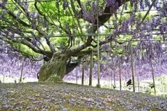 Bello fiore di glicine Fotografia Stock