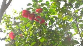 Bello fiore di hibiscus rosa sinensis nel vento nel giardino Luce vivida di Sun 4k, movimento lento video d archivio