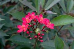Bello fiore di Jacq di integerrima del Jatropha fotografie stock libere da diritti