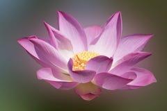Bello fiore di loto Immagine Stock
