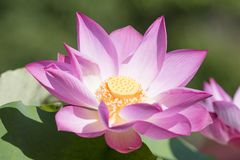 Bello fiore di loto Fotografia Stock