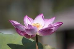 Bello fiore di loto Fotografia Stock Libera da Diritti