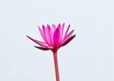 Bello fiore di loto Fotografie Stock Libere da Diritti