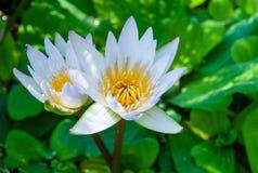 Bello fiore di loto Fotografie Stock