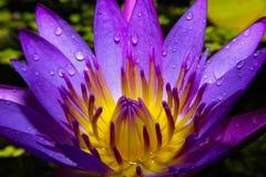 Bello fiore di loto immagini stock