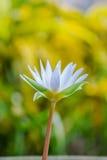 Bello fiore di loto bianco Fotografie Stock Libere da Diritti