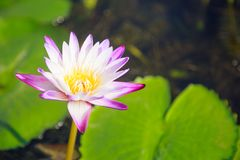 Bello fiore di loto bianco e porpora acquatico sbocciante della ninfea nel fondo verde dello stagno Natura, pianta naturale, flor fotografie stock