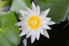 Bello fiore di loto del primo piano, sfuocatura scelta del fuoco del fiore di loto bianco o fuoco molle vago, fondo del fiore di  Fotografie Stock