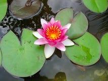 Bello fiore di loto dentellare di fioritura del giglio di acqua Fotografie Stock Libere da Diritti