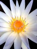 Bello fiore di loto di fioritura Fotografie Stock Libere da Diritti