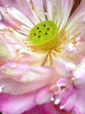 Bello fiore di loto di fioritura Fotografia Stock