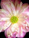 Bello fiore di loto di fioritura Immagini Stock Libere da Diritti