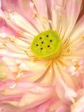 Bello fiore di loto di fioritura Fotografia Stock Libera da Diritti