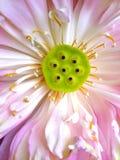 Bello fiore di loto di fioritura Immagine Stock Libera da Diritti