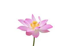 Bello fiore di loto nella fioritura Immagini Stock Libere da Diritti