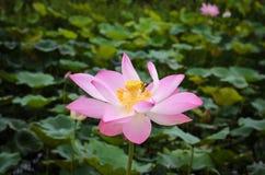 Bello fiore di loto nella fioritura Immagini Stock