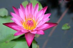 Bello fiore di loto nello stagno Immagine Stock Libera da Diritti